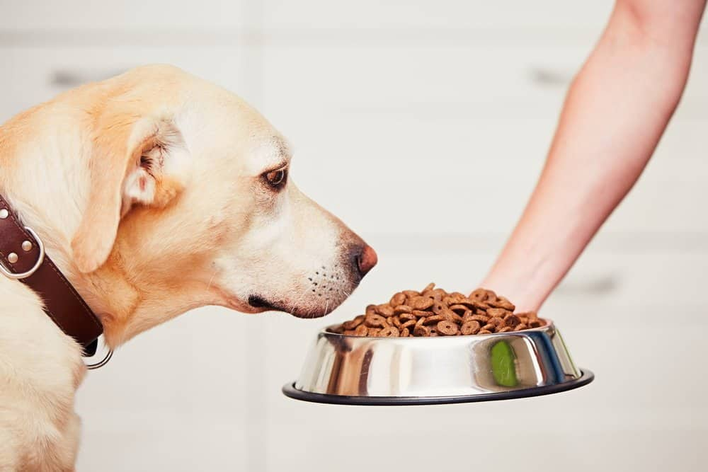 Tips on Lose Weight Quickly - Feeding hungry labrador retriever. The owner gives his dog a bowl of granules.