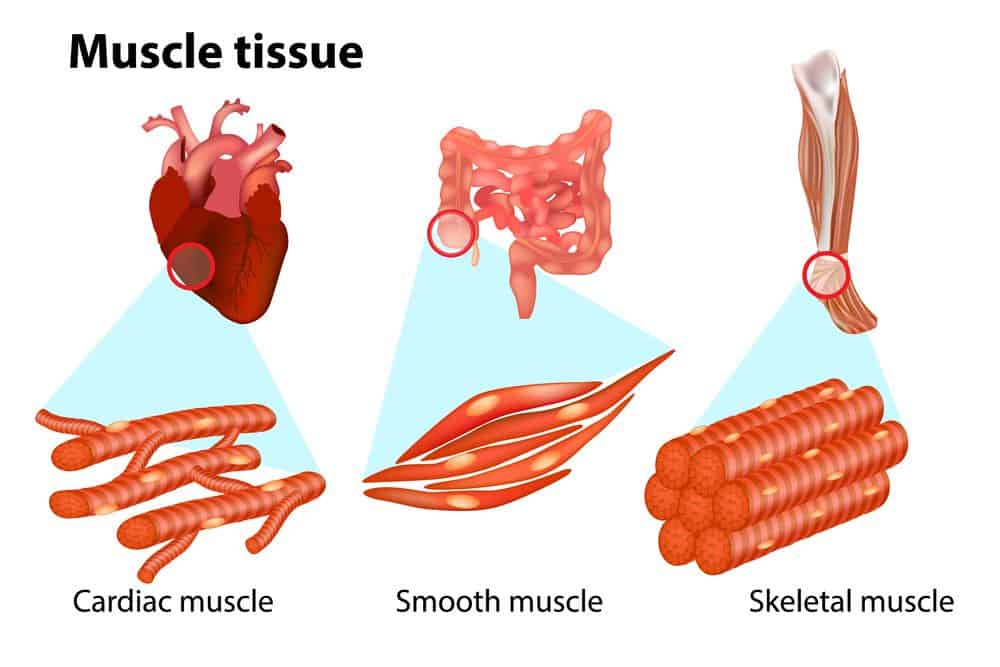 THREE TYPES OF MUSCLE TISSUE - 10 Reasons why Water is Important